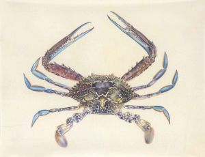 Deirdre Bean. 'Blue Swimmer Crab' 28x36cm