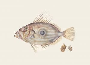 Deirdre Bean - 'John Dory and Shells' - 40x50cm