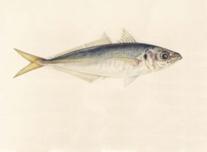 Deirdre Bean - Yellowtail - 18x29cm